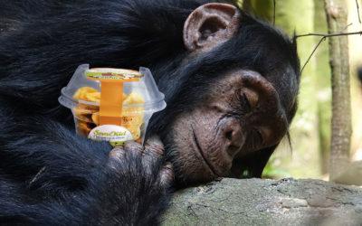 Was essen Affen? – Ein Steckbrief zum afrikanischen Schimpansen